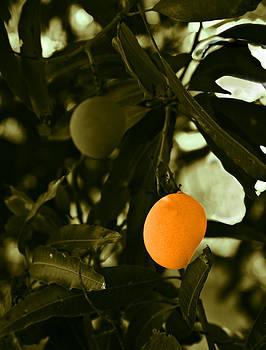 Kantilal Patel - Mango