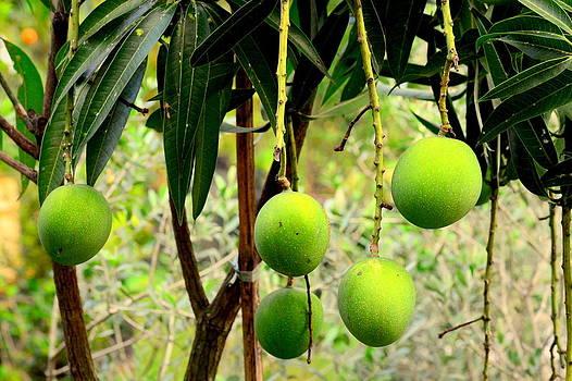Mangoes by Silvie Gunawan