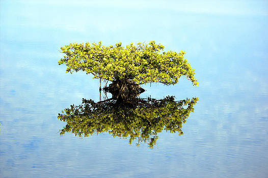 Mangrove Reflections by Suzie Banks