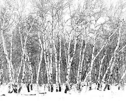 Manitoba Birch Stand by John Gilroy