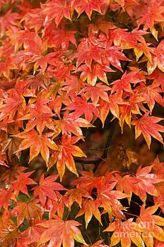 Anne Gilbert - Many Leaves