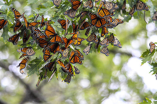Many migrant monarchs by Jill Bell