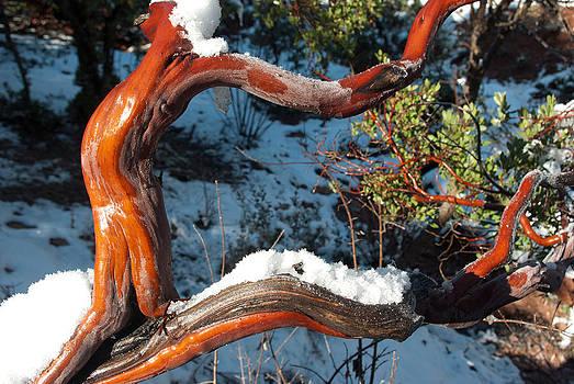 Manzanita After Snowfall by Curtis Jones