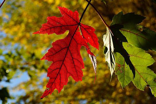 Maple in Transition by Jann Kline