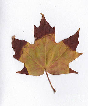 Maple Leaf by Andre Paquin