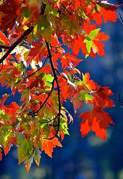 Maple Leaf Fall by Rita Mueller
