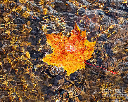 Barbara McMahon - Maple Leaf Floating in A Shimmering Stream