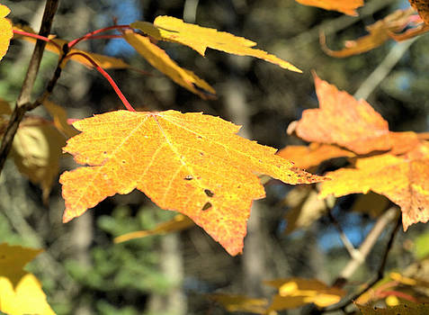 Maple Leaf in Fall by Andrew Miles
