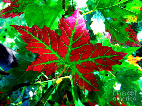 Perfect Maple Leaf by Jaunine Roberts