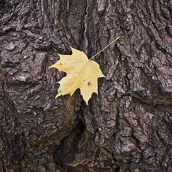 Steven Ralser - Maple Leaf on Log