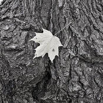 Steven Ralser - Maple leaf on stump