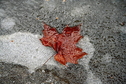 Maple Leaf under Ice by Carolyn Reinhart