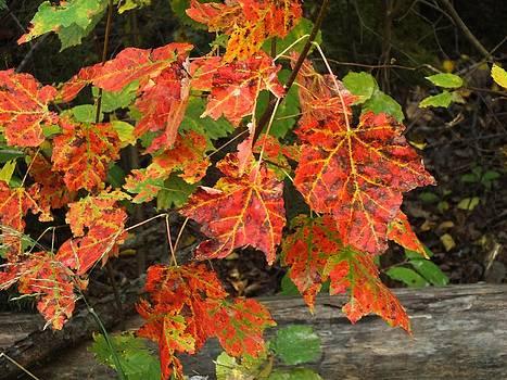 Maple Leaves by Gene Cyr