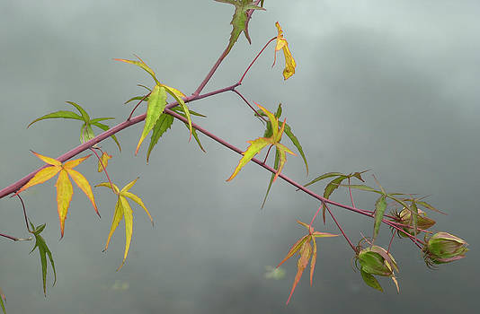 Maple Leaves by Jan Stittleburg