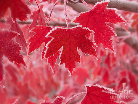 Maple Leaves with Frost by Laurie Klein