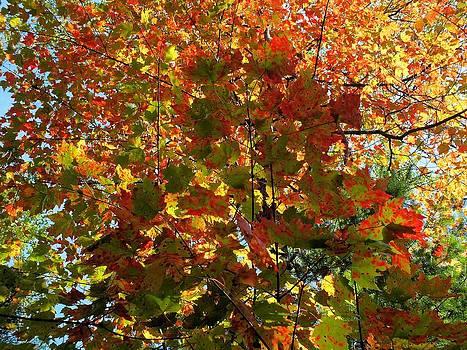 Maple on Maple by Gene Cyr