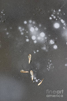 Steven Ralser - Maple seeds on ice