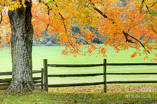 Oscar Gutierrez - Maple Tree and Fence