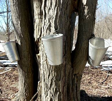 Gail Matthews - Maple Tree Sap Pails