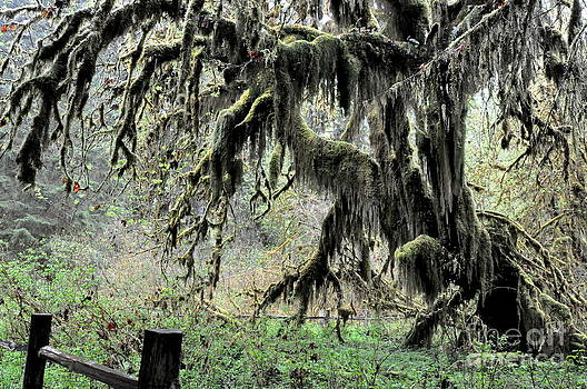 Maple Trees Covered With Club Moss In Hoh Rain Forest  1 by Tanya  Searcy