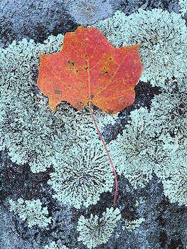 Maple Upon Lichen by Andrew Miles