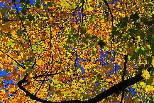 Maple View by Gary Kaylor