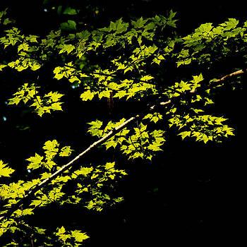 Maples against black by Jim Cotton