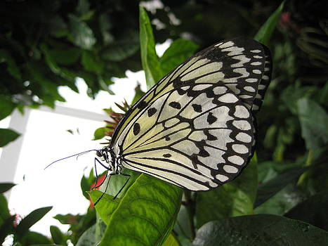 Marbled White by Brandie Marshall