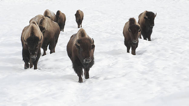 March of the Bison by Amy Gerber