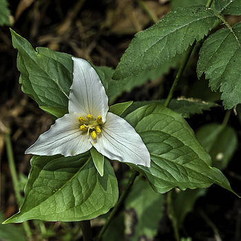 Marie's Trillium by Curtis Knight