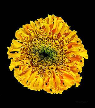 Marigold by Harold Farmboyzim Zimmer