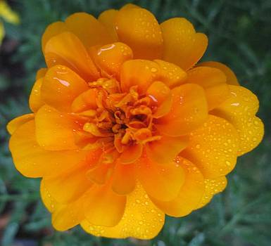 Marigold in the rain by Barbara Yearty