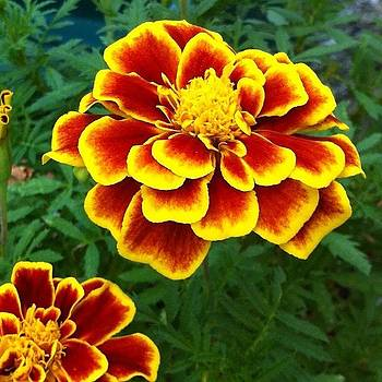 Marigolds #flower #flowers #gold by Corey Sheehan