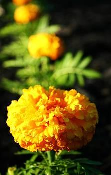 Robin Mahboeb - marigolds