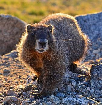 Marmot 2 by Patricia Feind