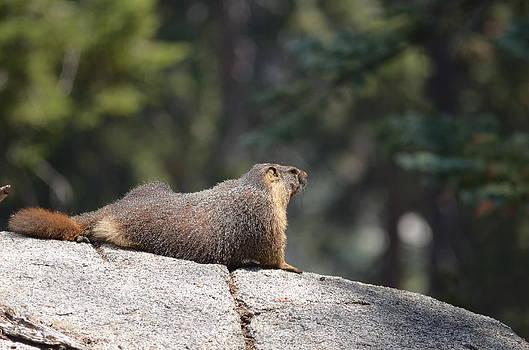 Marmot by Brian Turner