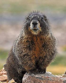 Mae Wertz - Marmot