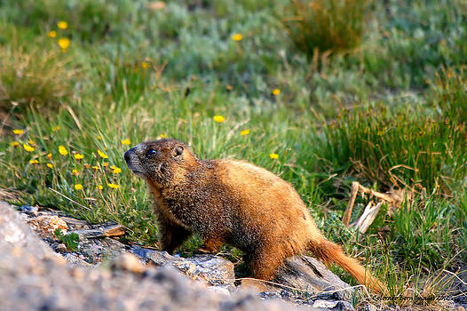 Marmot in Spring by Rebecca Adams