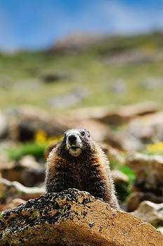 Marmot on a Rock by Don and Bonnie Fink