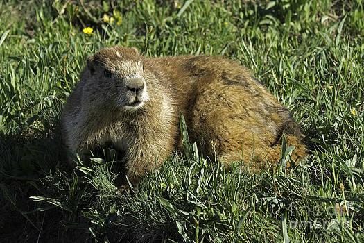Tim Moore - Marmot Pose