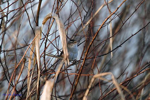 Marsh Wren Trilling by Ed Nicholles