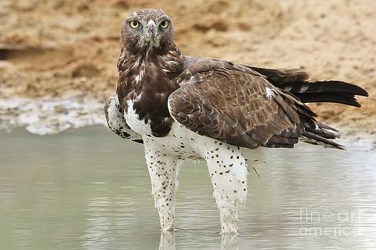 Hermanus A Alberts - Martial Eagle - Eyes of Focus