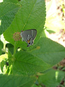 Kimberly Perry - Martial Scrub Hairstreak Butterfly