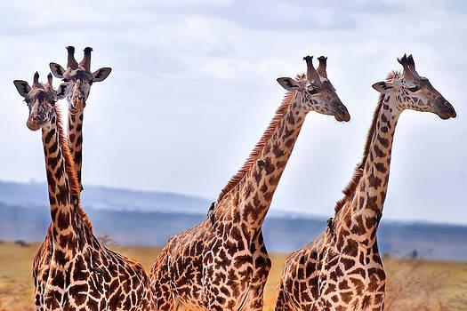 Adam Romanowicz - Masai Giraffe