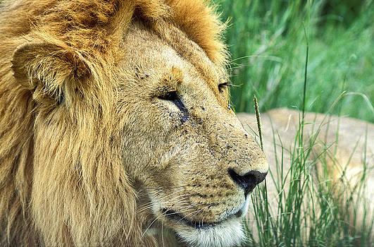 Masai Mara Lion by Tina Manley