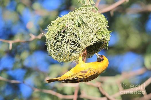 Hermanus A Alberts - Masked Weaver - Proud New Home Owner
