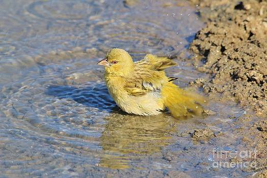 Hermanus A Alberts - Masked Weaver Bird Bath