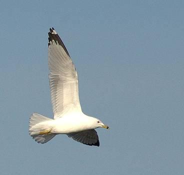 Matane's ring-billed gull by Monic LaRochelle