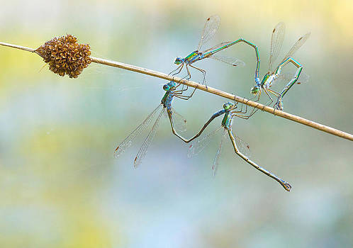 Mating Damsels by Marc Bulte