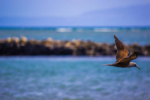 Maui Shearwater by Jonica Hall